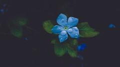 Moonlight beauty (nature&travel photography) Tags: mobilephotography photography morninglight monsoon rain raindrops beautiful bestshot exposure explore travelling travelphotography flower whitebalance