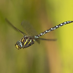 Dragonfly in flight thumbnail