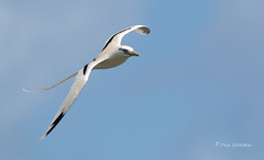 Soaring on the Wind (Rick Derevan) Tags: kauai kilaueapoint hawaii bird tropicbird whitetailedtropicbird bif flight flying wings wingspread