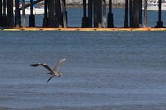 IMG_2475 (armadil) Tags: mavericks beach beaches bird birds flying californiabeaches heron greatblueheron blueheron
