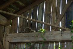 Mama Raccoon (SaraOntario) Tags: dead raccoon barn abandoned