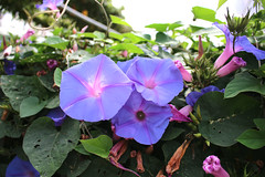 Morning glories (JadeTans) Tags: brinchang cameronhighlands rose flowers garden butterflyfarm