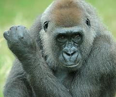 Western lowlandgorilla Burgerszoo JN6A5940 (j.a.kok) Tags: gorilla westelijkelaaglandgorilla westernlowlandgorilla lowlandgorilla laaglandgorilla animal africa afrika aap ape burgerszoo mammal monkey mensaap primate primaat zoogdier dier makoua
