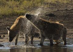 Hyaena Etosha Namibia E48G1645 (susan yeomans) Tags: namibia namibiaetosha etosha etoshanationalpark africa wildlife