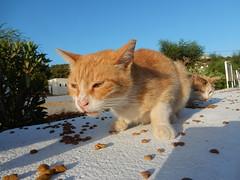 Pefkos Cats (deltrems) Tags: greek greece rhodes rodos pefki pefkos pefkoi island hellas mediterranean med animal cat puss pussy pussycat feral feeding station area