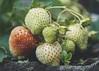 Sssss... (Kathy M photography) Tags: strawberries fruit fruits fresh owoce truskawki garden sony sonyalpha macro macrophotography macrolens macroflower macroart