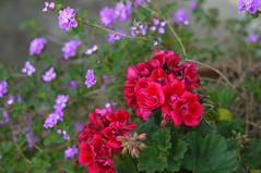 A bright spot! (Traveling with Simone) Tags: geranium bright red purple flowers blooms petals fleurs color couleurs flower bokeh closeup macro