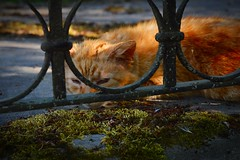 Poor soul (haidem3) Tags: cat pets animals orange fence cemetery sleepy nature