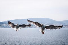 Hey!!! Do you have anything to eat? (Yuri Dedulin) Tags: birds funandtravel gulls nature ocean seabirds seagulls travel yuridedulin 2018 eu europe port ship food hunt sea spain summer vigo water cruise jade norwegian