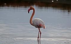 Fenicottero - Flamingo  (Phoenicopterus roseus) (Michele Fadda & Giulia) Tags: canoneos70d sigma150600mmf563dgoshsmsport sardinia sardegna italy fenicottero phoenicopterusroseus flamingo free volatile uccello nature natura avifauna faunaprotetta photoscape