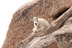 Young Mountain Goat taking a break