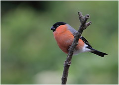 Bullfinch ( m ) (jenny*jones) Tags: bullfinch malebullfinch pyrrhulapyrrhula june2018 midsummersday westyorkshire gtbritain canon7dmarkii sigma150600mmc birdphotography
