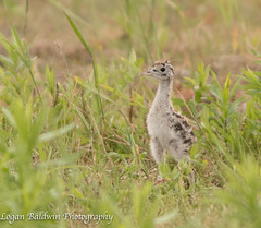Upland sandpiper chick2! (ZombiesniperJr) Tags: