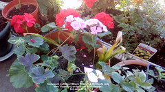 Geranium cuttings ('Black Prince'  & Brilliant red) now  flowering on balcony floor (inside) 3rd July 2018 (D@viD_2.011) Tags: geranium cuttings black prince brilliant red now flowering balcony floor inside 3rd july 2018