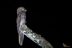 Common Potoo (fernaabs) Tags: common potoo nyctibiusgriseusnictibiocomúnpájaroestaca pájaropalor caprimulgiformes nyctibiidae nyctibius fernaabs burgalin avesdecostarica