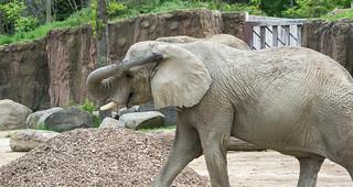 dusty elephant - Cleveland Zoo