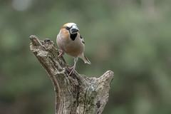 Hawfinch - HBN-hut 3 - Lemelerberg - The Netherlands (wietsej) Tags: hbnhut 3 lemelerberg the netherlands hawfinch appelvink sony rx10iv rx10m4 bird nature rx10 iv
