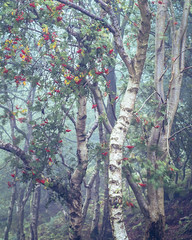Birch and Rowan, Bickerton Hill, Cheshire (colinbell.photography) Tags: