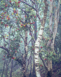 Birch and Rowan, Bickerton Hill, Cheshire