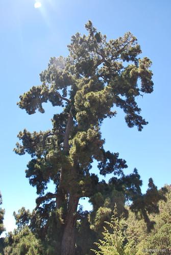 Найстаріша канарська сосна, Тенеріфе, Канари  InterNetri  02