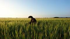 Just a tale 🐶 (Jos Mecklenfeld) Tags: totoro dutchshepherd hollandseherdershond hollandseherder shepherd herdershond herder dog hond landscape landschap barley gerst sonyxperiaz5 xperia