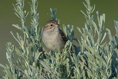 Clarke_180622_2940.jpg (www.raincoastphoto.com) Tags: birds birdsofcanada birdsofbritishcolumbia brewerssparrow birdsofnorthamerica sparrows spizellabreweri