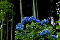 Bamboo and Hydrangeaboo (tez-guitar) Tags: bamboo hydrangea temple summer flower bloom blossom kamakura pentax pentaxart macro tamron