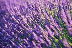 DSC_5137.1 (nickandedith) Tags: lavande lavander fields purple valensole provence france