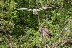 Great Horned Owl and Mew Gull (Dan King Alaskan Photography) Tags: greathornedowl owl mewgull bubovirginianus laruscanus noise interioralaska alaska canon80d sigma150600mm