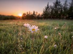 Daisy Sunset (mickreynolds) Tags: july2018 nx500 westport daisy sunset green sky grass ireland samyang 12mm