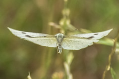 full frontal in flight (Paul Wrights Reserved) Tags: butterfly butterflies butterflyinflight front frontal lookingatthecamera wing wings spread insect insects inflight flying fly insectinflight