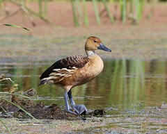 Fulvous Whistling-Duck (tombenson76) Tags: ballona fulvouswhistlingduck dendrocygnabicolor
