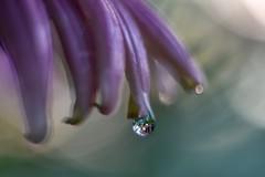 Raindrop. (agnieszka.a.morawska) Tags: helios helios44m nature rain raindrops summer echinacea flower bkhq beyondbokeh bokehlicious bokeh