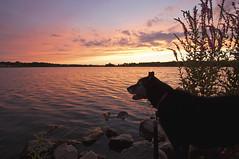 Kim Kardashian (Tiara Rae Photography) Tags: sunset lake rocks purple loosestrife flowers pink dog pet animal cute sky clouds landscape omaha nebraska