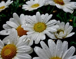 Blumen, Blüten - flowers and blossoms, Natur, effect- serie , Margeritenmit Wassertropfen,  76358/10308