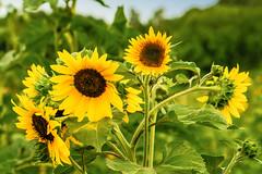 the sunflowers (a7m2) Tags: pflanzen sonnenblume sommer kerne öl garten feld zierpflanze