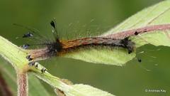 Silkworm Moth caterpillar, Zanola verago, Bombycidae (Ecuador Megadiverso) Tags: andreaskay apatelodidae caterpillar ecuador silkworm moth zanolaverago bombycidae