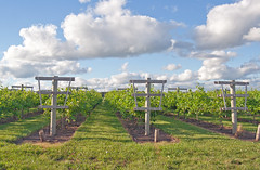 (Chuckwalking) Tags: four daughters winery fourdaughterswinery grape chuckwalking clouds
