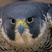 Peregrine (Jon David Nelson) Tags: peregrinefalcon raptors birdsofprey falcoperegrinus