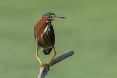 So.. (Earl Reinink) Tags: bird animal heron greenheron earl reinink earlreinink legs udidauidxa