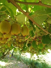 Bitter Fruit, The Kills. (lobotomyzed) Tags: kiwis fruit vitaminc organicfarm organicagriculture bio