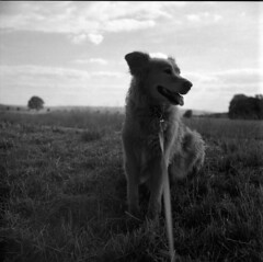 king of the field .. maybe... (salparadise666) Tags: nils volkmer mamiya c330 sekor 80mm dog square medium format analogue film fomapan 200 caffeanol cl