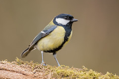 Great Tit D85_2450.jpg (Mobile Lynn) Tags: nature greattit birds tits bird fauna oscines passeri passeriformes songbird songbirds wildlife coth specanimal coth5 ngc npc
