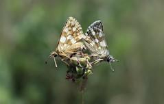 Spialia orbifer (Hübner, 1823) (Marcell Kárpáti) Tags: spialiaorbifer pyrginae hesperiidae lepidoptera hungarianskipper orbedredunderwingskipper kerekfoltútörpebusalepke butterflies lepkék buják hungary