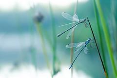 awakenig (Olaf Traumflieger) Tags: kleinlibellen torefmoor bog peat dragonfly sonnenaufgang himmelmoor