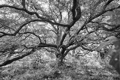 Oak Woods (OneEighteen) Tags: oak tree seabrook texas bw blackandwhite