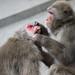 Japanese macaqua (PeteMartin) Tags: japanesemacaqua ape artis zoo