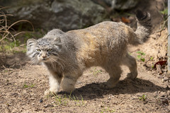 Pallas's Cat (Gareth Christian) Tags: chesterzoo mammals otocolobusmanul pallasscat nikon d750 cat catsdogs upton england unitedkingdom gb