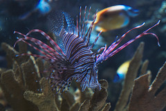 IMG_8962 (giltay) Tags: fish lionfish takumarsmc55mmf18