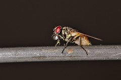 Thirst (R.D. Gallardo) Tags: thirst sed gota drop agua water mosca fly polen pollen canon eos eos6d 6d raw sigma 105mm f28 macro macrofotografia macrofotografía